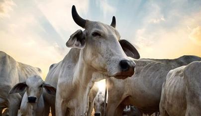 Verminoses em bovinos