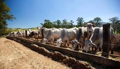 Como tratar complexo respiratório bovino