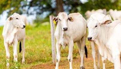 Vantagens da utilização do Fósforo Orgânico no desmame de bovinos