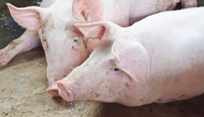 Preços do suíno vivo estão em alta.