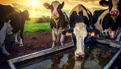 Importância da ingestão de água para vacas leiteiras